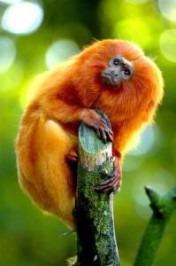 Small golden marmoset