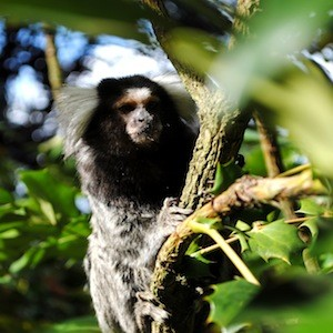 Marmoset facts and information