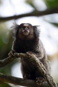 Marmoset on a branch