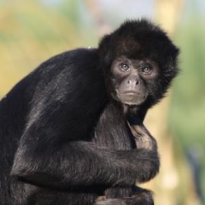 new world monkeys facts