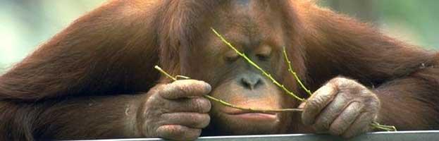 Orangutan Evolution
