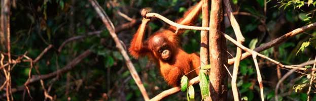 Orangutan Habitat and Distribution