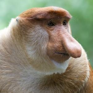 Proboscis monkey feature