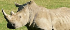 Rhino facts and information