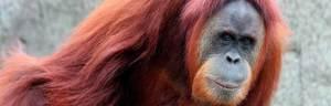 Sumatran_Orangutan