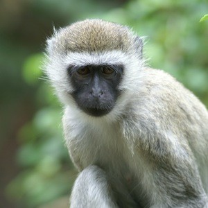 Vervet monkey facts