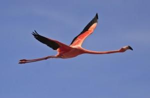 Flamingo physical characteristics