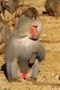 Old World monkey facts