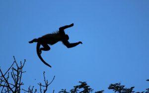 Characteristics of howler monkey.