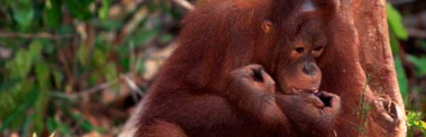 Orangutan Behavior