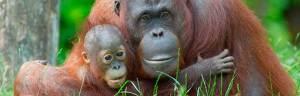 orangutan_minisite