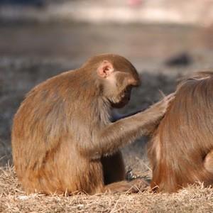 rhesus macaque feature