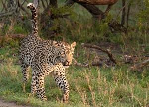 Adult_Male_Leopard_Walking_In_Grass_600