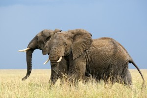 Running african elephants