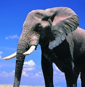 African_elephant_facts