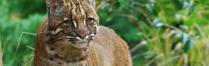 Asian_Golden_cat_Karen-Stout