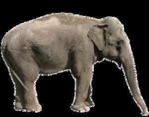 Asian_elephant_anatomy