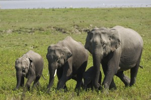 Wild Asian Elephants in Kaziranga National Park, India
