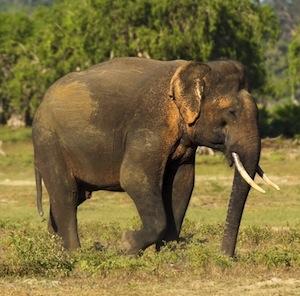 a rare yala tusker