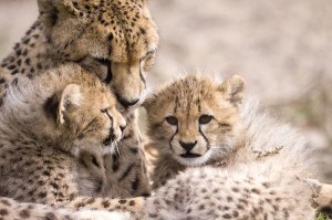Cheetah_Mother_With_Cubs_600