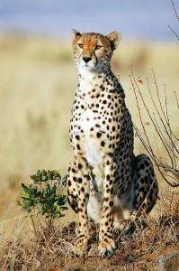 Cheetah in African Savanna