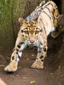 Startled Clouded Leopard