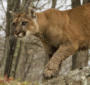 feline_hunting