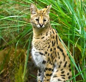 Feline breeding