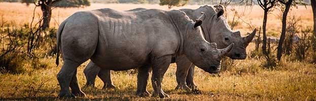 Rhinoceros Behavior