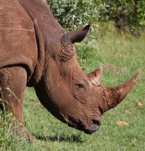 Rhino's diet