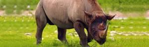 Rhino_feeding