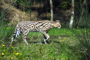 serval walking by