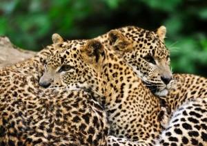 Sri_Lanka_Leopards_-_Panthera_Pardus_Kotiya_600
