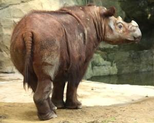 SumatranRhino_Ltshears copia
