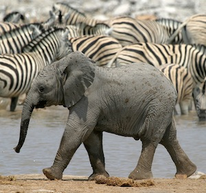 elephant_reproduction_picture