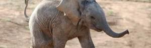 elephant_reproduction