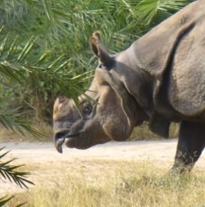Javan rhinoceros_facts