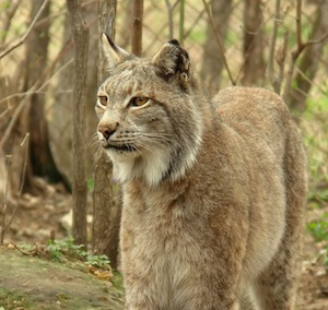Lynx_picture