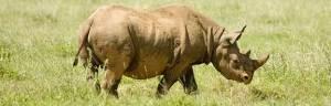 rhino_evolution