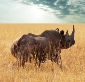 Rhino_distribution