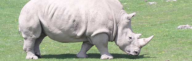 Rhinoceros Threats