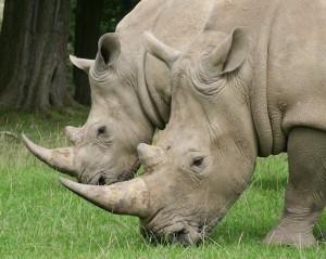 rhino's grazing