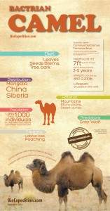 Bactrian-Camel-infographic