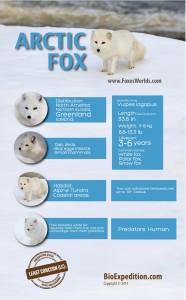arctic-fox-infographic