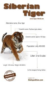 siberian-tiger-infographic