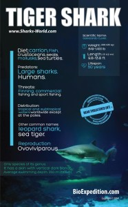 tiger-shark-infographic