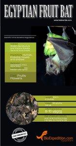 Egyptian_Fruit_bat_infographic