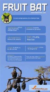 FRUIT_BAT_infographic