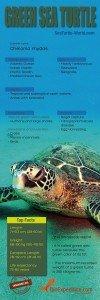 Green_Sea_Turtle copia
