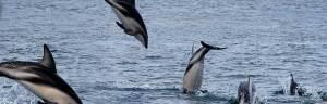 Dusky_Dolphin